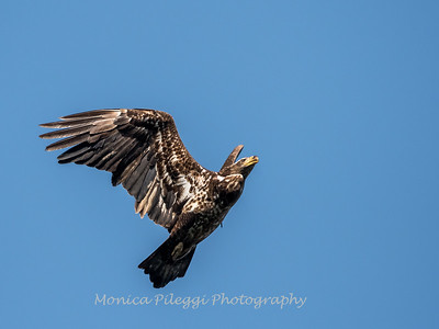 Conowingo-Dam-Eagles_19-March-2017-0410