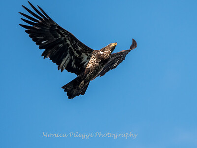 Conowingo-Dam-Eagles_19-March-2017-0407