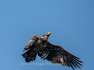 Conowingo-Dam-Eagles_19-March-2017-0412