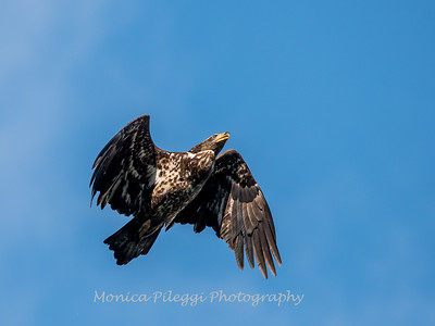 Conowingo-Dam-Eagles_19-March-2017-0409