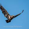 Conowingo-Dam-Eagles_19-March-2017-0406