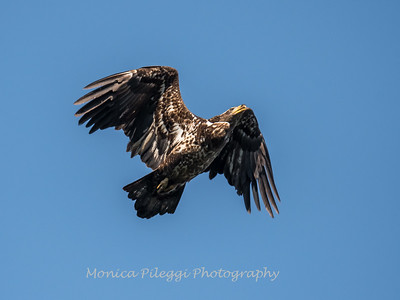 Conowingo-Dam-Eagles_19-March-2017-0413