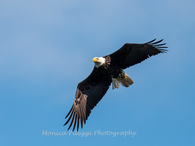 Conowingo-Dam-Eagles_19-March-2017-0358