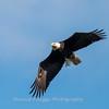 Conowingo-Dam-Eagles_19-March-2017-0358