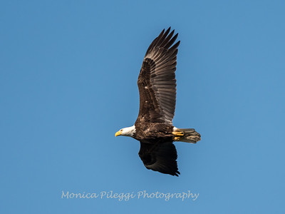Conowingo-Dam-Eagles_19-March-2017-0352