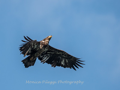 Conowingo-Dam-Eagles_19-March-2017-0408