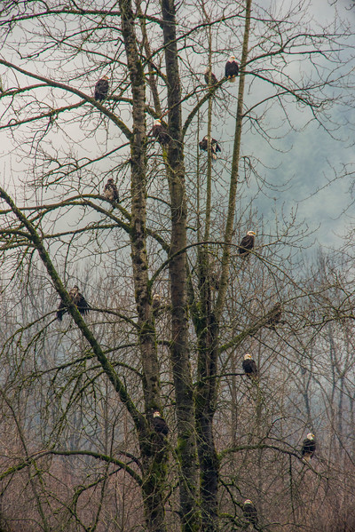 Eagles on Skagit River