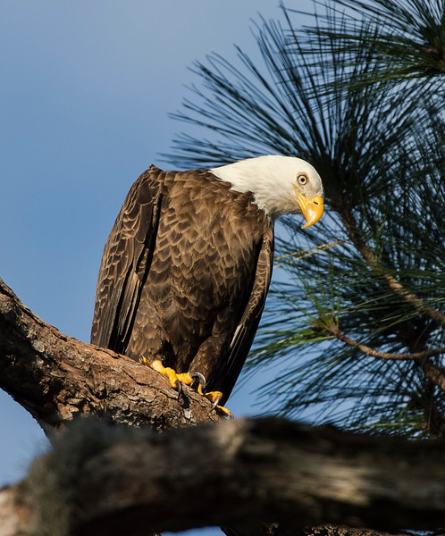_DLS5366 Eagle
