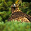 Golden eagles have beautiful brown feathers with a golden hue.  They turn a gold color when hit by sunlight.  I am getting the once over.