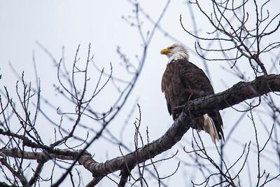 Bald Eagle Perched in Burlington, Iowa