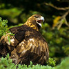 Golden eagles tend to mate with the same bird for a lifetime or over many years.  The goldens have not recoved as well as the bald eagles, but their numbers are climbing.