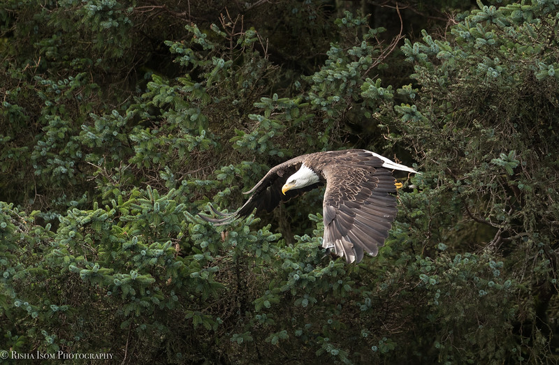 A bald eagle taking off is a beautiful sight to see.