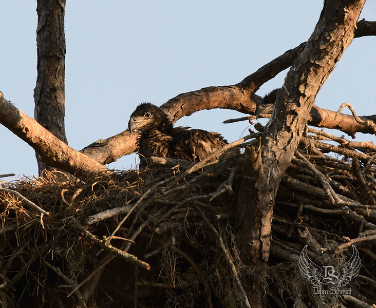 _DLS7590-baby-eaglets