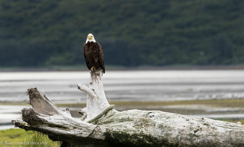 Bald Eagle- Kodiak, Alaska