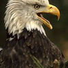This eagle was not really angry, he just needed to be vocal and put on a show.