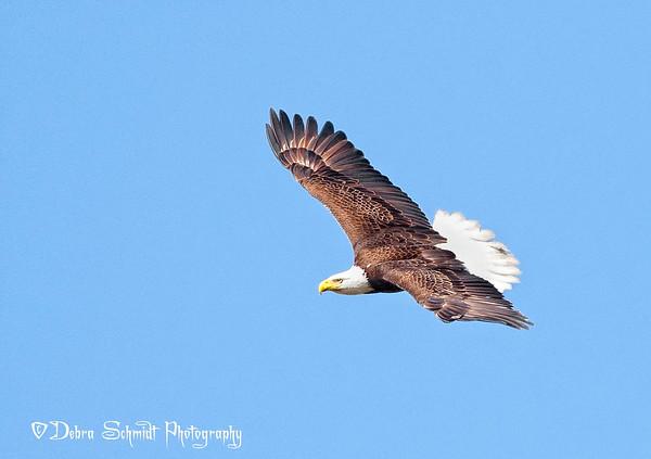 Deb's Eagles