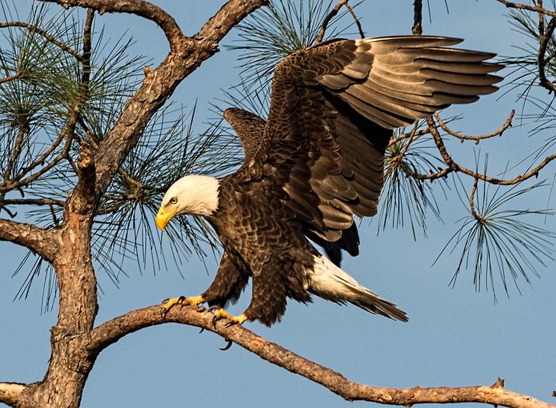 _DLS0555 Eagle