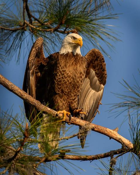 _DLS1177 Hokey Poley Eagle
