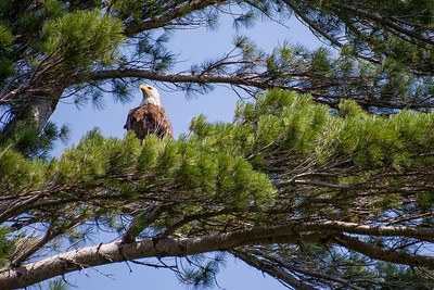 Bald Eagle on the Lookout