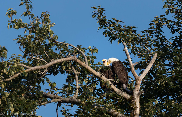 Pair of Bald Eagles.
