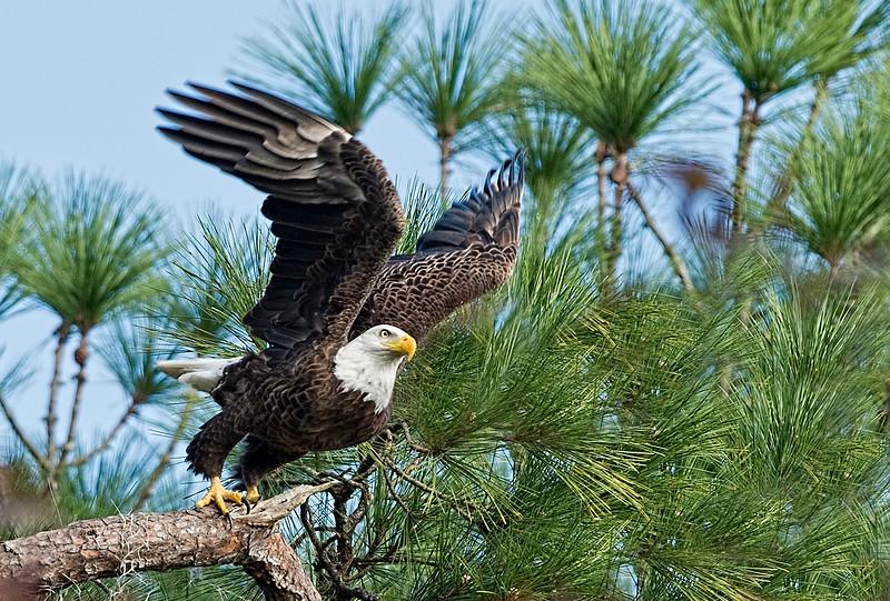 _DLS4809 Eagle take off