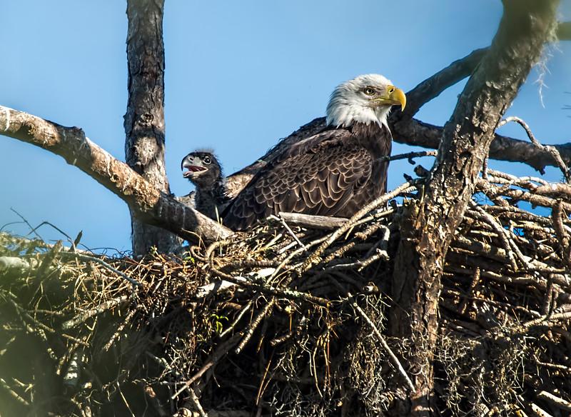 _DLS5235 Mom & Baby Eaglet