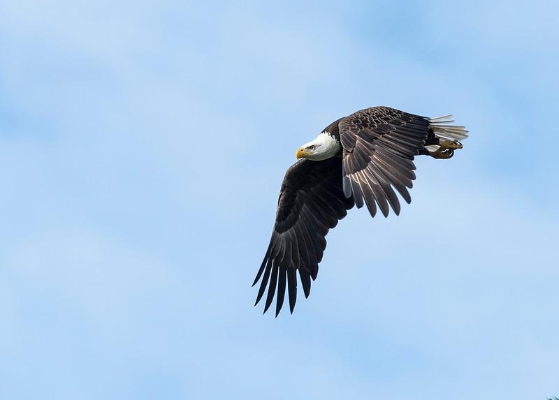 _DLS2979 Deltona Eagle