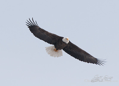 Almost Bald Eagle time!!!  Might be headed down to the river this weekend.  fingers crossed