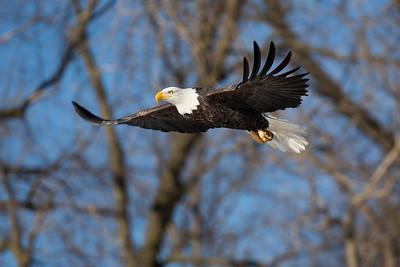 Le Claire, Iowa Bald Eagle