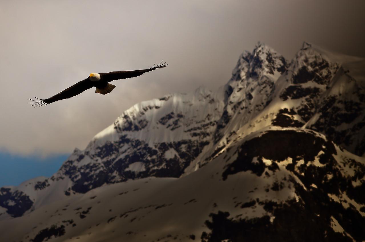 Eagle soaring with the background Baranof Island.
