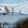 Might Mac ( an injured  and rehabilitated eagle) is released at his name sake - The Mackinaw Bridge.