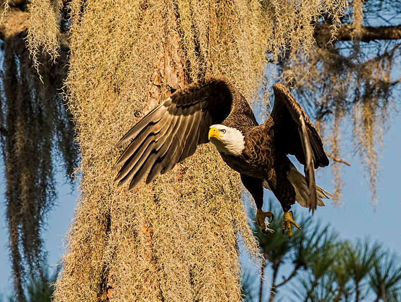 _DLS0616 Dad Eagle