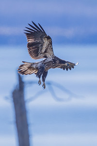 Immature Bald Eagle I