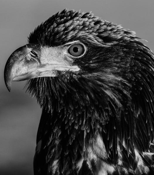 Juvinile Eagle