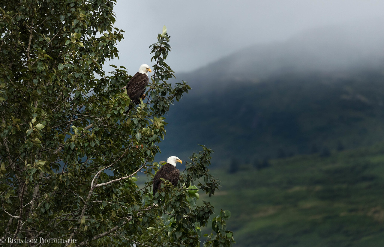 Bald Eagle pair.
