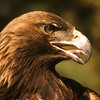Very majestic face.  Golden eagles tend to be larger than bald eagles.  They are extremely strong and prey include rabbits, squirrels, and larger mammals, such as fox, young deer, goats and house pets.  They can have a seven foot wing span.