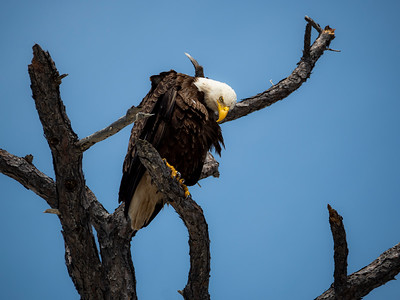 Bald Eagle on Branch in Florida