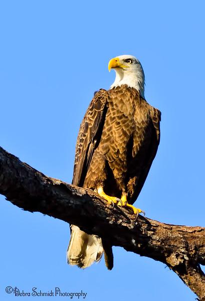 _DSC2154 Deltona Eagle