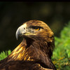 This golden eagle kept looking around to see what was going on behind him.  This is nature at its best, nice image.
