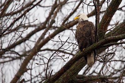 Bald Eagle Staring