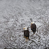 Bald Eagle pair waiting out the cold.