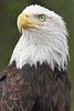 """""""Classic Eagle"""""""