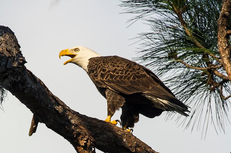 _DLS5385 Eagle Scream
