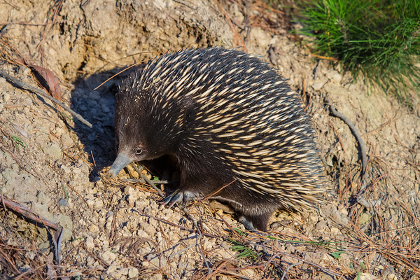 Short-beaked Echidna (Tachyglossus aculeatus) - Mount Worth State Park, Victoria