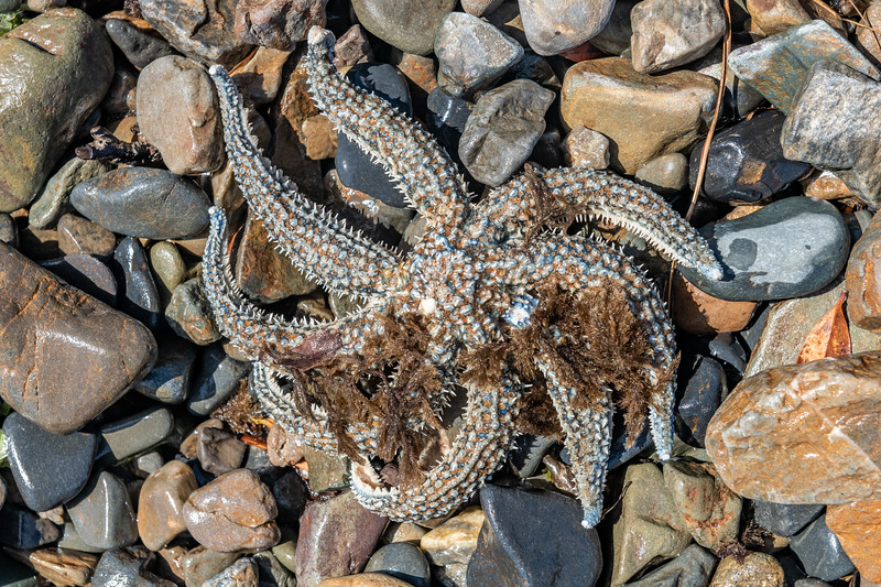 Eleven-armed sea star (Coscinasterias muricata). Te Oneroa, Preservation Inlet, Fiordland National Park.