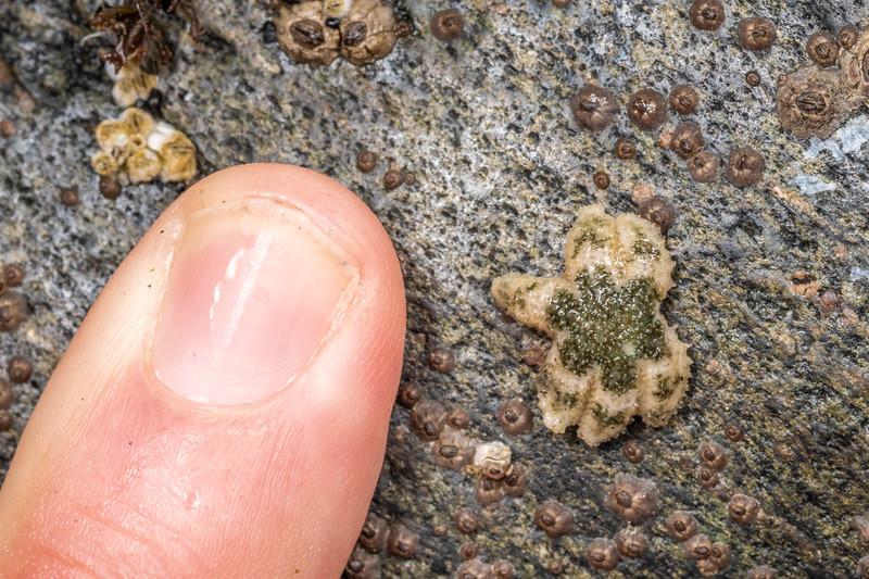 Six-rayed star (Leptasterias hexactis).<br /> Palmer's Beach, Patricks Point State Park, CA, USA.