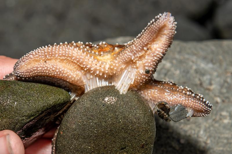 Ochre sea star (Pisaster ochraceus). Palmer's Beach, Patricks Point State Park, CA, USA.