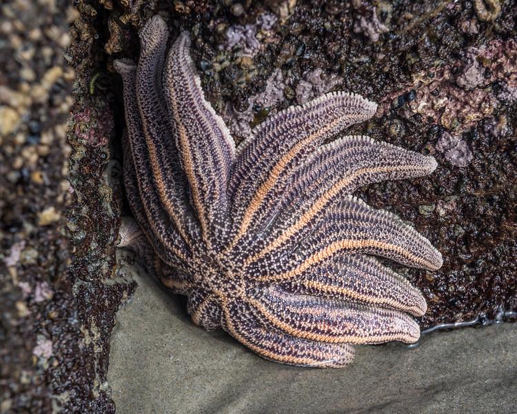 Reef starfish (Stichaster australis). Sandfly Bay, Otago Peninsula.