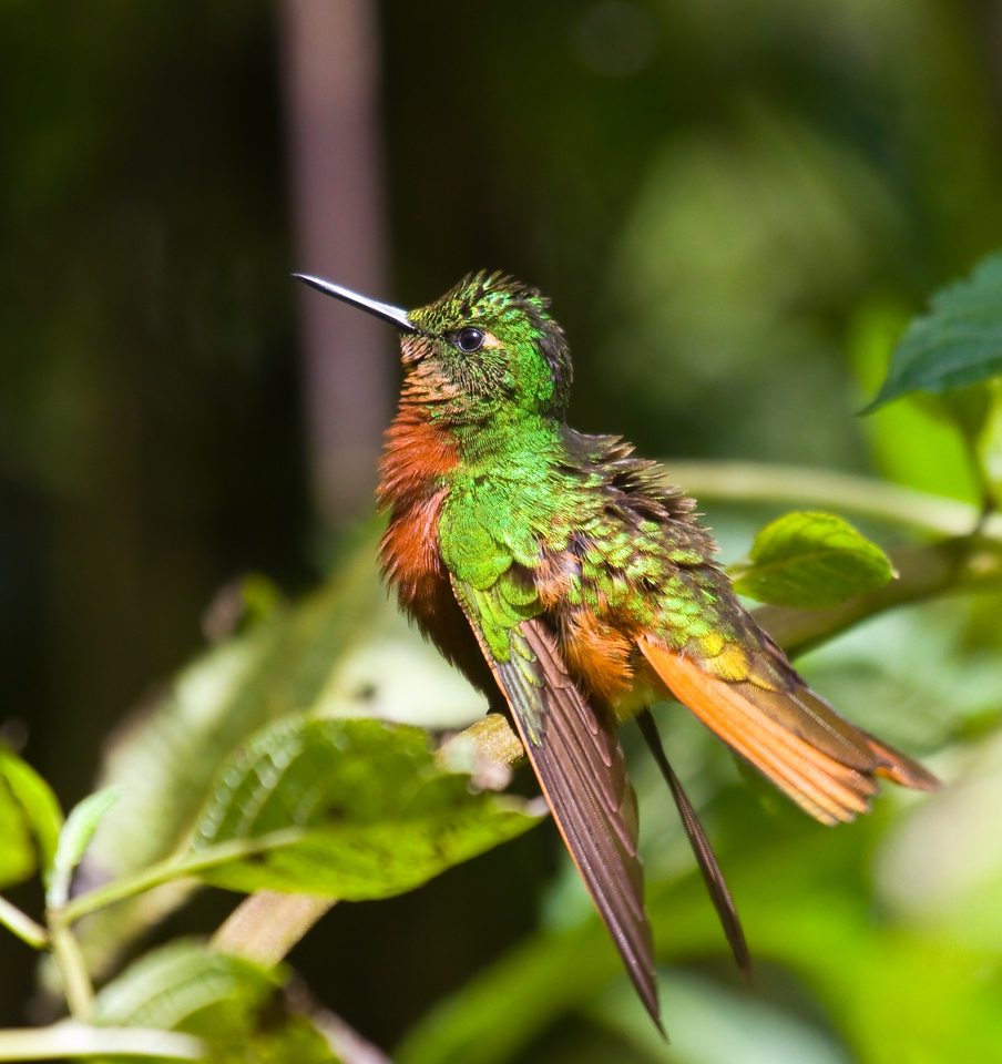 chestnut-breasted coront