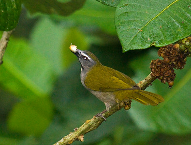 buff-throated saltater